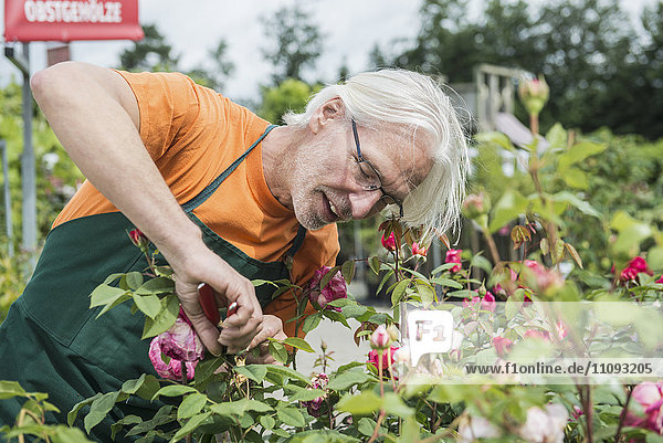 Male gardener trimming roses in greenhouse  Augsburg  Bavaria  Germany Male gardener trimming roses in greenhouse, Augsburg, Bavaria, Germany