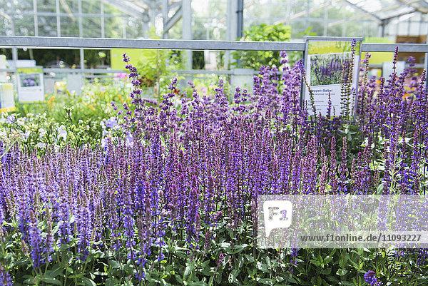 Lavender flowers for sale in garden centre  Augsburg  Bavaria  Germany