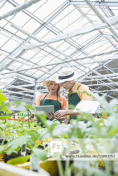 Two gardeners using digital tablet inspecting plants in greenhouse  Augsburg  Bavaria  Germany