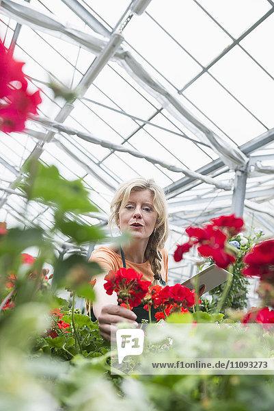 Female gardener checking inventory with digital tablet in garden centre  Augsburg  Bavaria  Germany