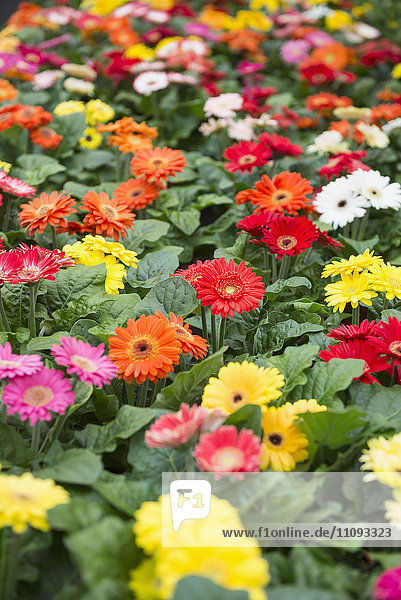 Daisy flowers for sale in garden centre  Augsburg  Bavaria  Germany