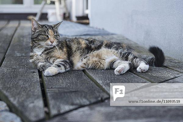 Tortoiseshell cat relaxing on floorboard  Munich  Bavaria  Germany
