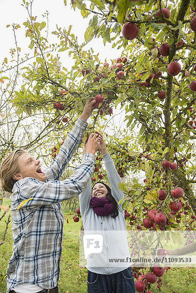 Woman and man laughing and picking apples passionately from a tree in apple orchard