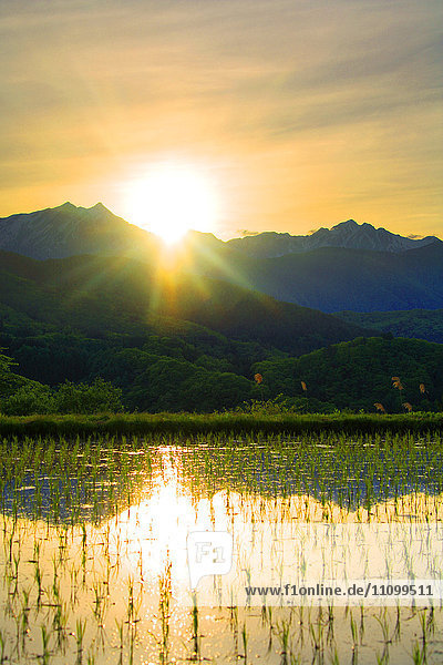 Sun setting over rice field