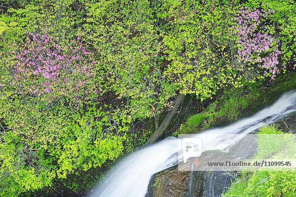 Azaleas and Stream