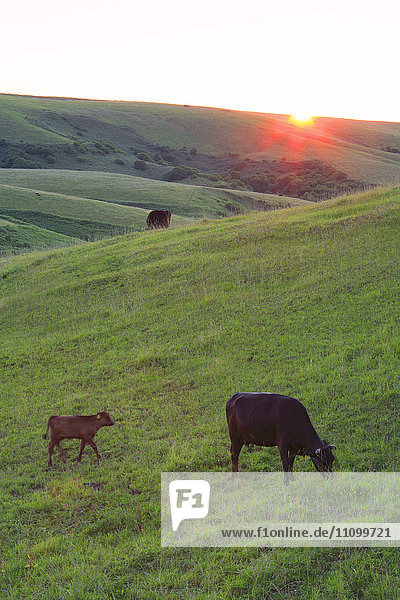 Wagyu Cattle at Dawn