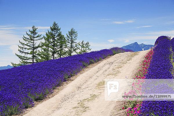 Lavender and footpath  Hokkaido Prefecture  Japan