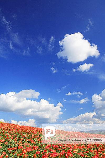 Marigold field  Hokkaido Prefecture  Japan
