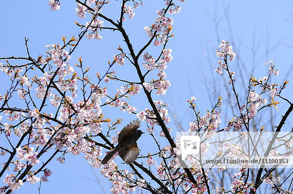 Brown-eared Bulbul and cherry blossom