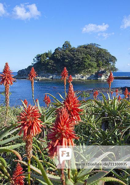 Aloe Vera Blossoming