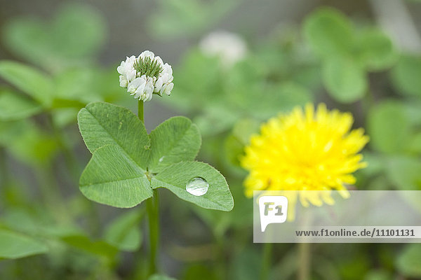 Clover and dandelion