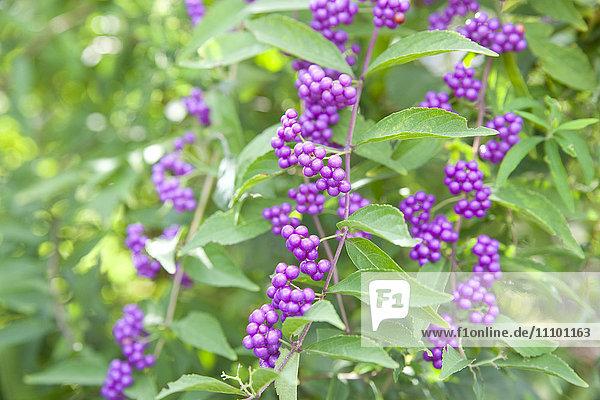Japanese beautyberry (Callicarpa japonica)