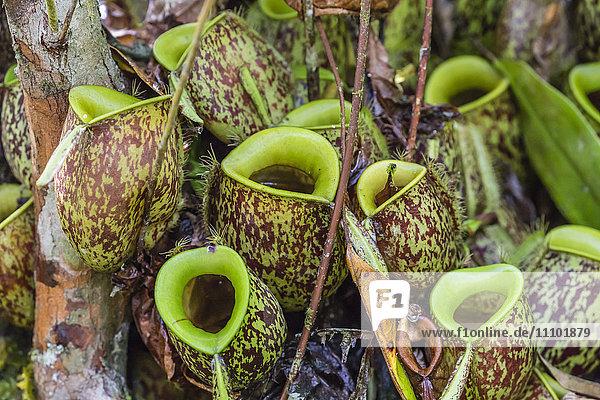 Tropical pitcher plants (Nepenthes spp ) at the Semenggoh Rehabilitation Center  Sarawak  Borneo  Malaysia  Southeast Asia  Asia