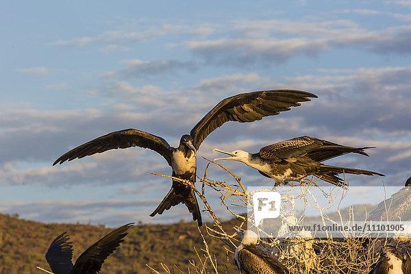 Magnificent frigatebirds (Fregata magnificens)  San Gabriel Bay  Espiritu Santo Island  Baja California Sur  Mexico  North America