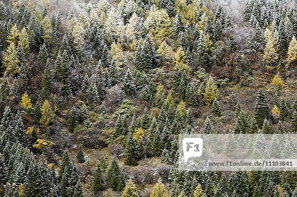 Early in morning frost on trees in Mount Siguniang  an area of outstanding natural beauty in Sichuan Province  China  Asia