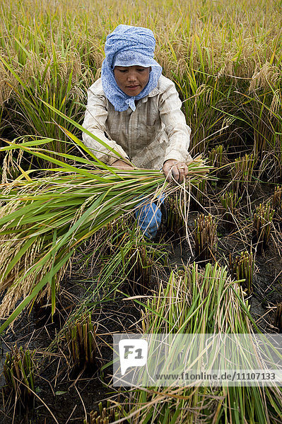 A woman harvests rice in north east India  India  Asia