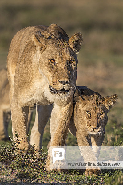 Lioness with cub (Panthera leo)  Kgalagadi Transfrontier Park  Northern Cape  South Africa  Africa