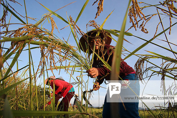 Lao farmer harvesting rice  Vang Vieng  Vientiane Province  Laos  Indochina  Southeast Asia  Asia