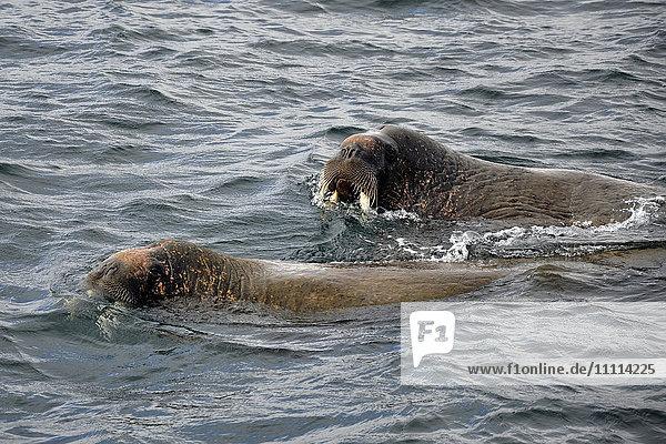 Norway  Svalbard islands  Spitsbergen island  walrus