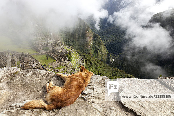 Dog relaxing on mountain overlooking Machu Picchu  Machu Picchu  Peru