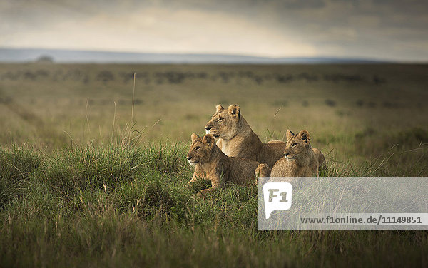 Lioness and cubs laying in remote field