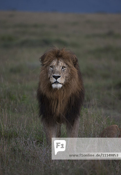 Lion standing in remote field