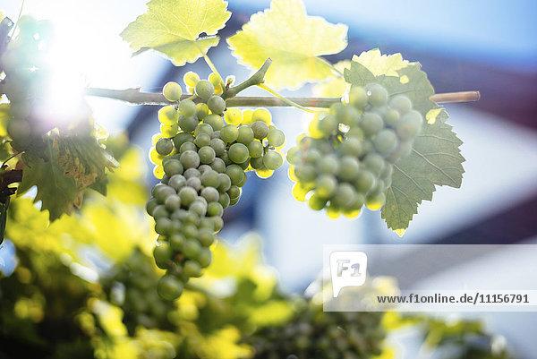 Grüne Trauben  die an der Rebe hängen