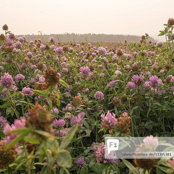 Close up of pink flowers in field