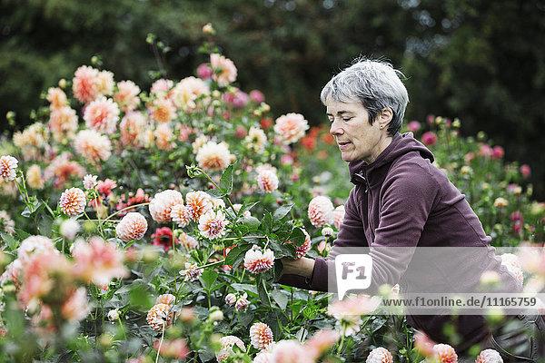 Eine Frau pflückt Blumen  pfirsichfarbene Dahlien  in einem Blumenbeet in einer Bio-Blumenschule.