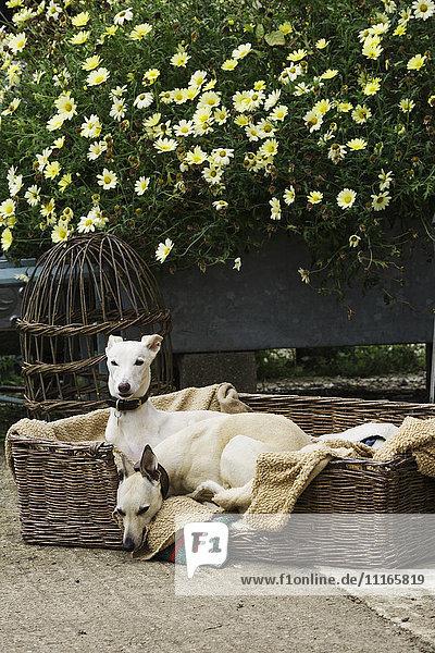 Zwei Windhunde in einem großen Korbhundebeet  auf einem Gartenweg  neben einem Korbskelett und blühenden Pflanzen.