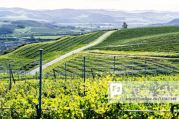 Vineyard on green rolling landscape