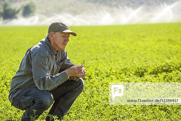 Crouching Caucasian farmer checking crop in field