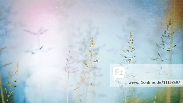 Long Grass Blowing Gently in Summer Wind with Bokeh Effect