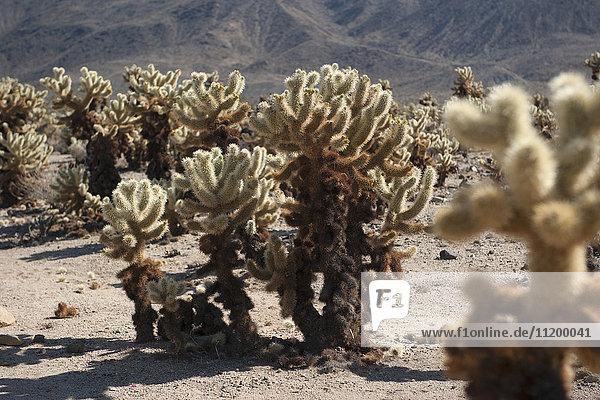 Cholla-Kaktus im Joshua Tree Nationalpark  Kalifornien  USA