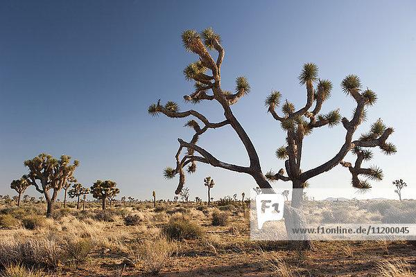 Joshua-Baum (Yucca brevifolia) wächst im Joshua Tree National Park  Kalifornien  USA
