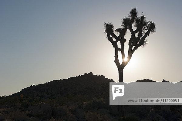 Joshua Baum von der Sonne hinterleuchtet  Joshua Tree National Park  Kalifornien  USA