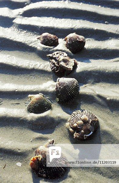 Petoncle scallops