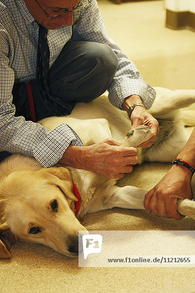 Vet Examines Yellow Lab Dog In Clinic