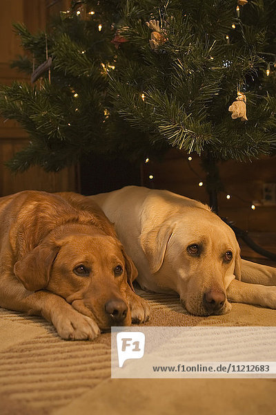 Red And Yellow Lab Resting In Front Of Christmas Tree