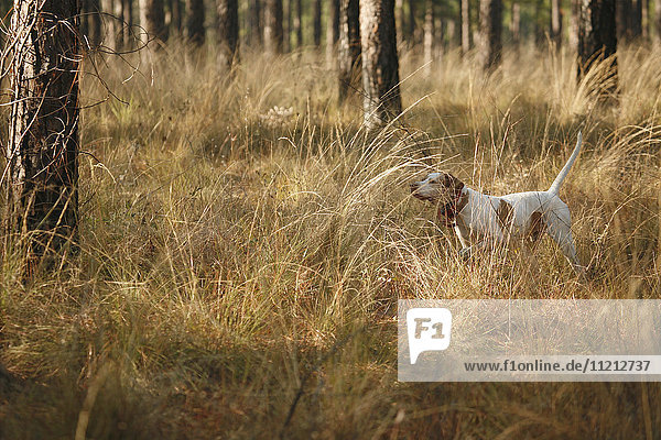 English Pointer in the Woods Hunting Quail