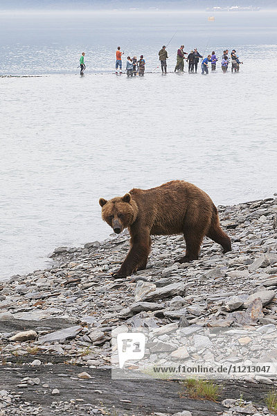 Brown bear fishing near the fish hatchery at Allison Point with fishermen in the background  Valdez  Southcentral Alaska  USA