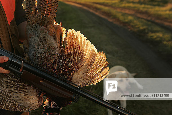 Pheasant Rooster Hunter With Gun And Yellow Lab