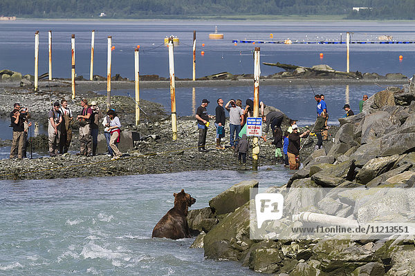 A Brown bear sow bear fishes near the hatchery with fishermen close by  Allison Point  Valdez  Southcentral Alaska  USA