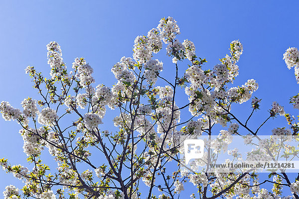 'Spring blossoms on a tree against a blue sky; London  England'