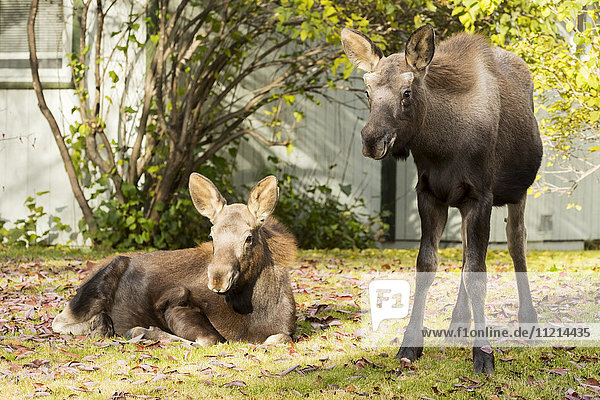 'Twin moose (alces alces) calves rest and feed in yards in West Anchorage in autumn; Anchorage  Alaska  United States of America'