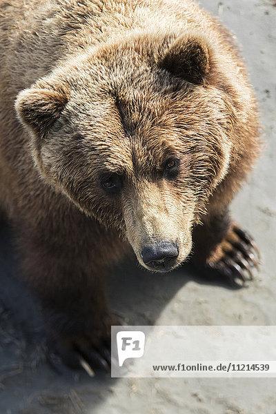 'Brown bear (ursus arctos) looks up at photographer  captive at the Alaska Wildlife Conservation Centre; Portage  Alaska  United States of America'