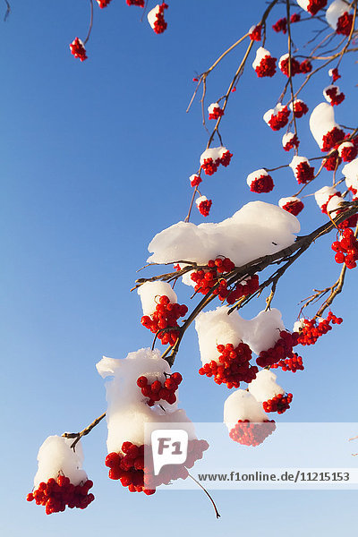 'Red berries on Mountain Ash tree covered in snow in winter  South-central Alaska; Alaska  United States of America'