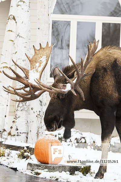 'Large bull moose (alces alces) with one of the biggest racked bulls in the area  nicknamed Hook  sniffing a jack-o-lantern outside a home  South-central Alaska; Anchorage  Alaska  United States of America'