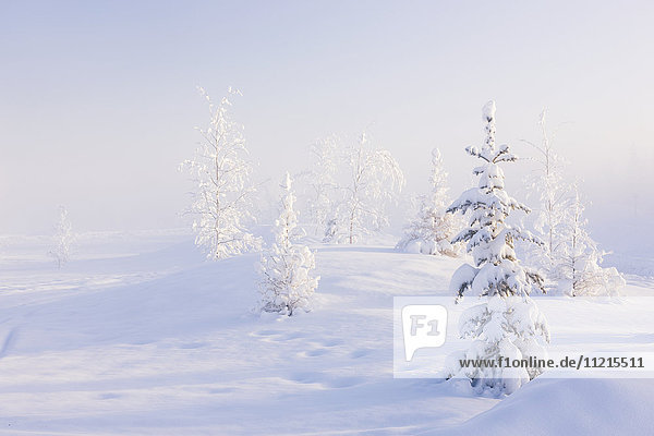 'Snowy birch and evergreen trees in an atmospheric landscape during sunrise  North Pole  interior Alaska in wintertime; Alaska  United States of America'
