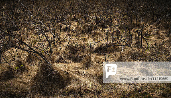 'Landscape of dead and withered trees on brown grass; Saskatchewan  Canada'